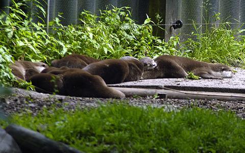 Dit jaar minder otters omgekomen in verkeer: Groninger Landschap bezorgd