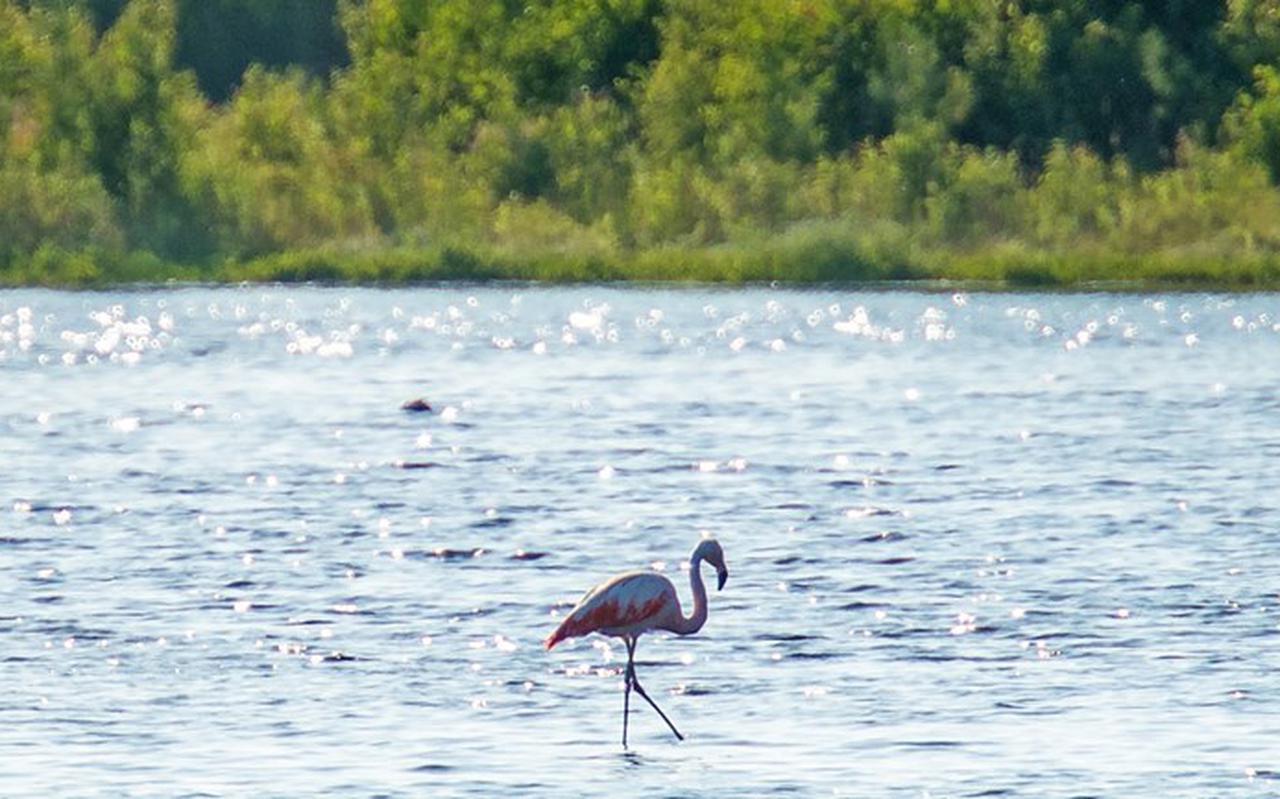 Een Flamingo in het Zuidlaardermeer in 2016