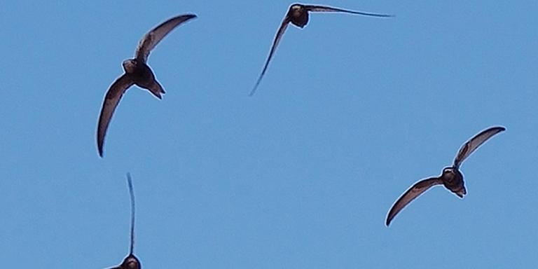 Gierzwaluwen. FOTO WIKIMEDIA COMMONS
