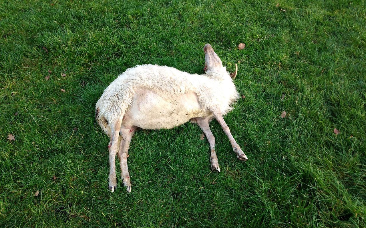 Het gedode schaap.