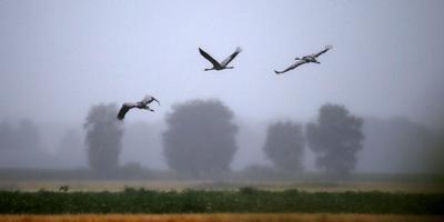Kraanvogels in het Fochteloërveen.
