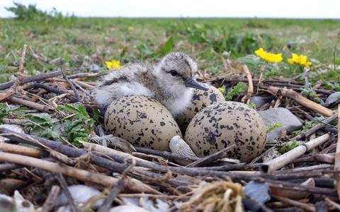 Kluten zijn er wel, maar waar blijven de jongen? Onderzoekers bestuderen nageslacht in vogelparadijs bij Den Andel