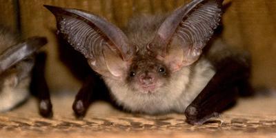Groningen heeft nieuwe afspraken gemaakt over de bescherming van vleermuizen en andere beschermde diersoorten tijdens bouwwerkzaamheden. Het Rijk heeft de gemeente daarom een ontheffing verleend van de natuurbeschermingswet.