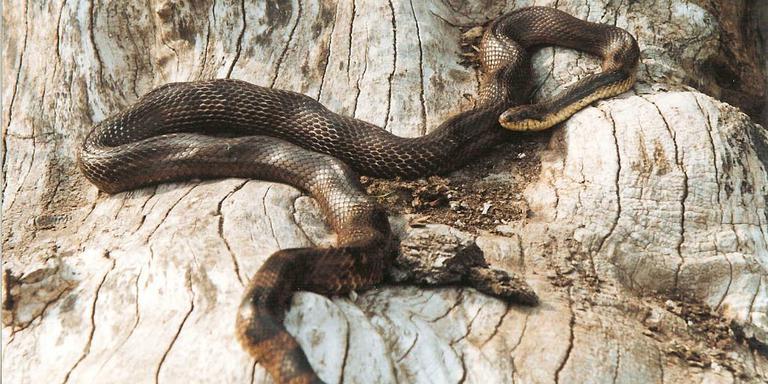 Een van de vele soorten rattenslangen: De Russische Rattenslang. Foto: Archief DvhN
