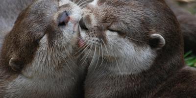 Twee jonge otters op archiefbeeld. FOTO PIXABAY