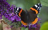 Vlinders krijgen extra klap door de droogte (al valt de schade in Groningen enigszins mee)