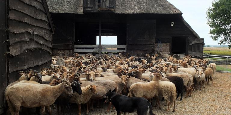 De huidige schapenkooi. FOTO ALBERT KERSSIES