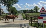 'Let op! Er kan nog een koe aankomen'. De verkeersborden bij deze koeienoversteekplaats in Aduard werden gestolen, maar de dieven kregen berouw