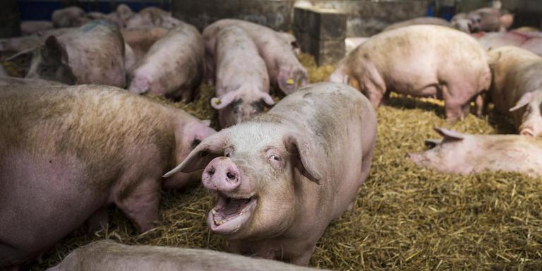 Nederlandse varkensboerderij. Foto Archief Kees van de Veen
