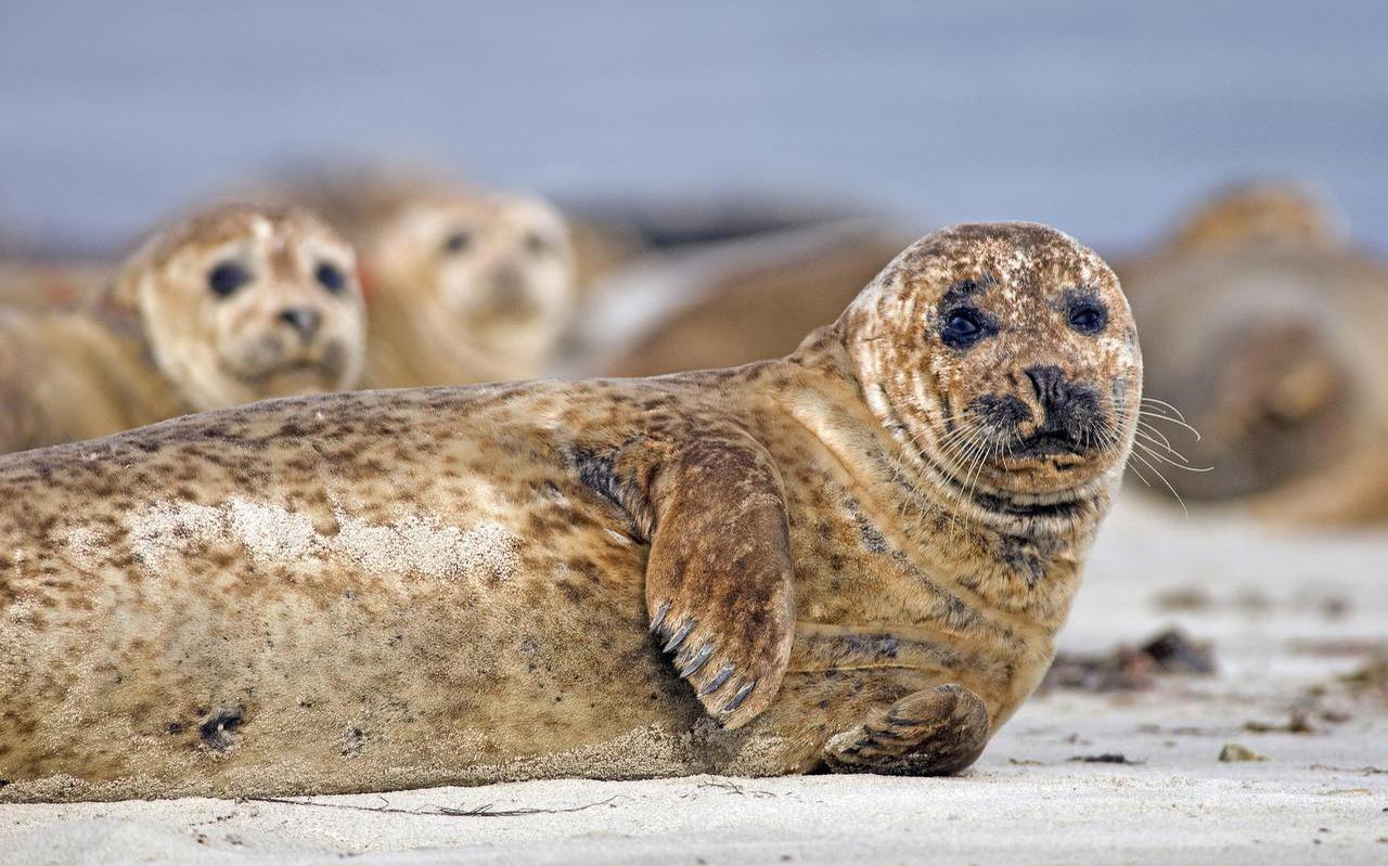 Gewone zeehond op een zandplaat in de Waddenzee. De populatie is in veertig jaar alleen maar toegenomen. FOTO MARCEL VAN KAMMEN