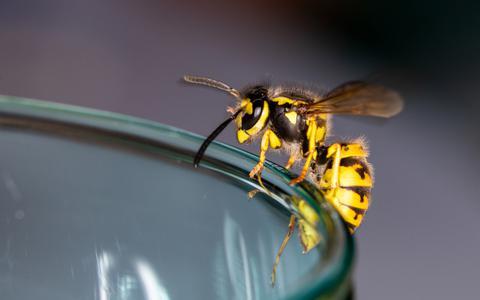 Wespen kunnen erg vervelend zijn