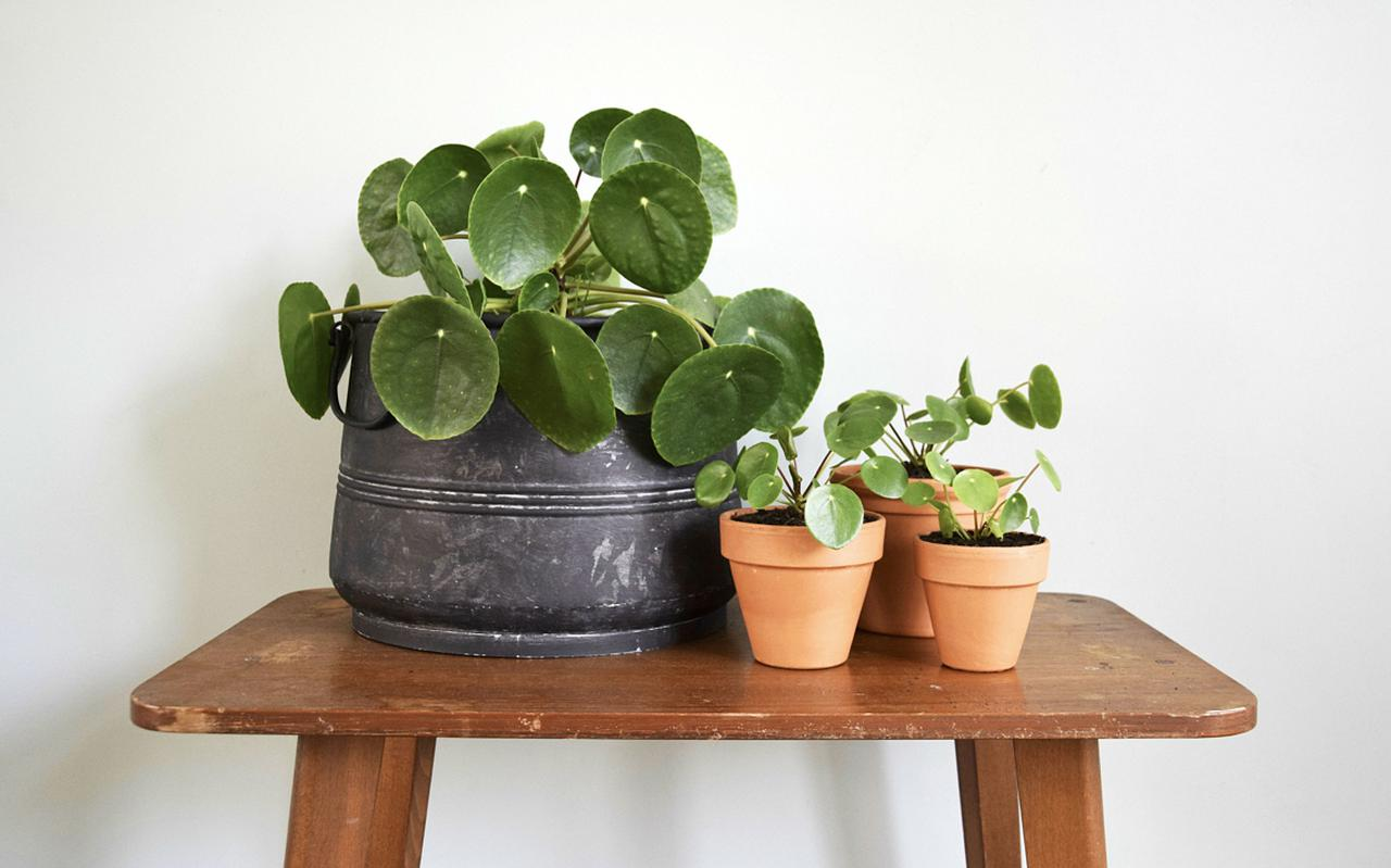 Pannenkoekplanten in potten